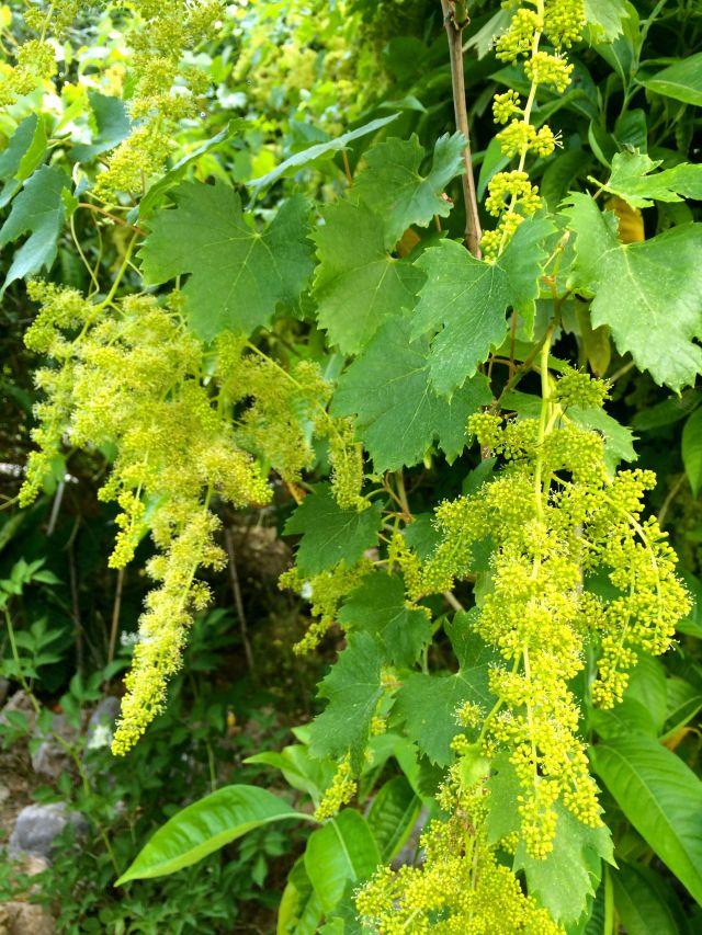 grape flowers